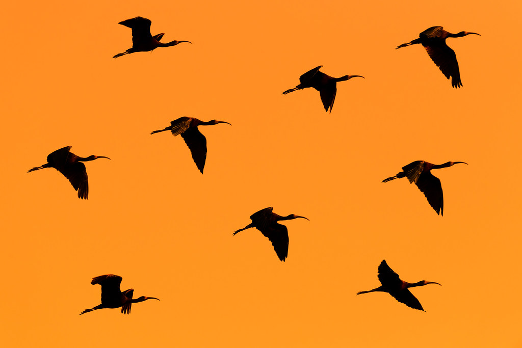 Sunset Formation (Glossy Ibis - Glossy Ibis - Íbis-preta -Plegadis falcinellus)