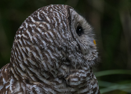 barredowl owl multnomahco oregon columbiachildrensarboretum portland