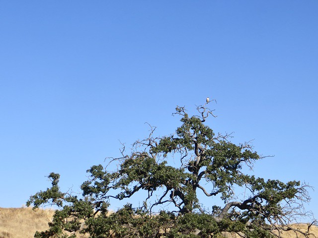 california oak and hawk