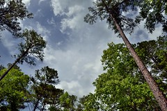 A Parking Lot View of Tall Pine Trees under Skies of Blue (Congaree National Park)