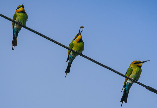Breakfast with the family - Rainbow bee-eaters (Merops ornatus)