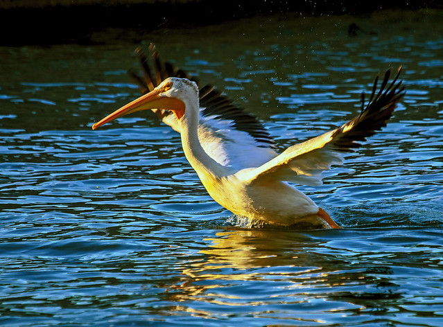 Pelican rising