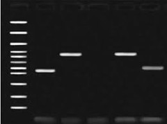 EtBr stained, size fractioned dna on an agarose gel