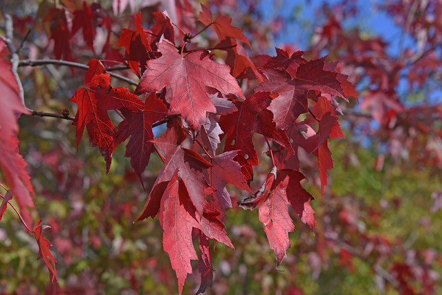 Picture Of 2019 Foliage - Red Leaves. Photo Taken Saturday October 12, 2019