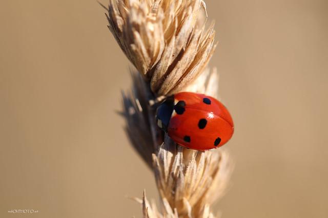 Ladybug in dry grass
