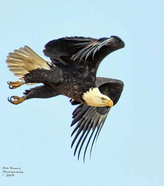 American Bald Eagle Adult.