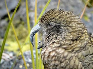 DSC09434 Kea at Auckland Zoo. | by jangurney