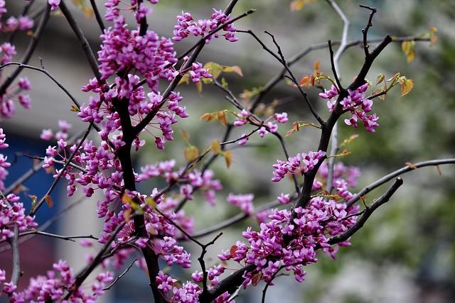 Spring in Millenium Park