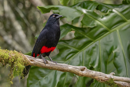 Endemic Red-bellied grackle