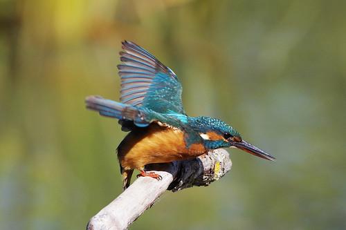 nature wild wildlife lackfordlakes suffolk bird kingfisher alcedoatthis