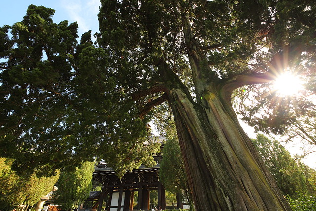 Standing giant timber at the garden of old temple
