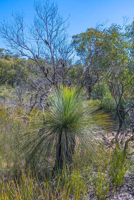 Grass tree also known as Yacca and the Australian Bush