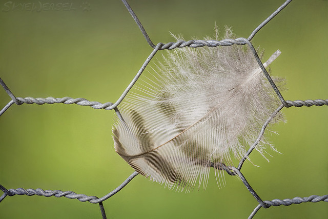 Bird (Feather) On the Wire