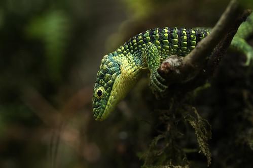 Abronia taeniata - green form