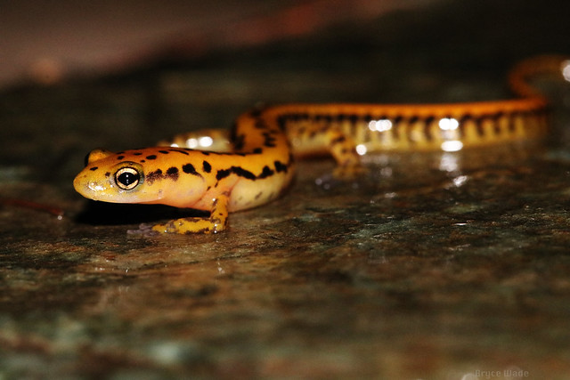 Eurycea longicauda | Long-Tailed Salamander