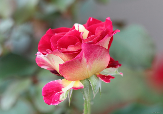 red and yellow bicolor rose