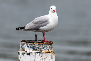 Silver Gull on a post