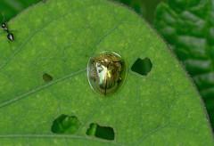 Tortoise Beetle to be identified