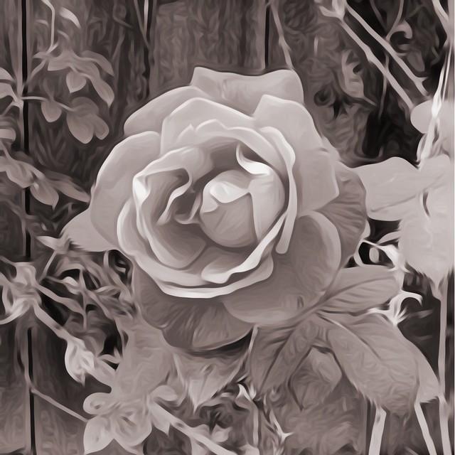 Orange rose ( highly edited)
