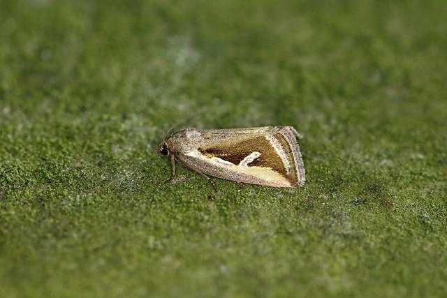 73.026 Silver Hook (Deltote uncula), Isle of Mull, Argyll