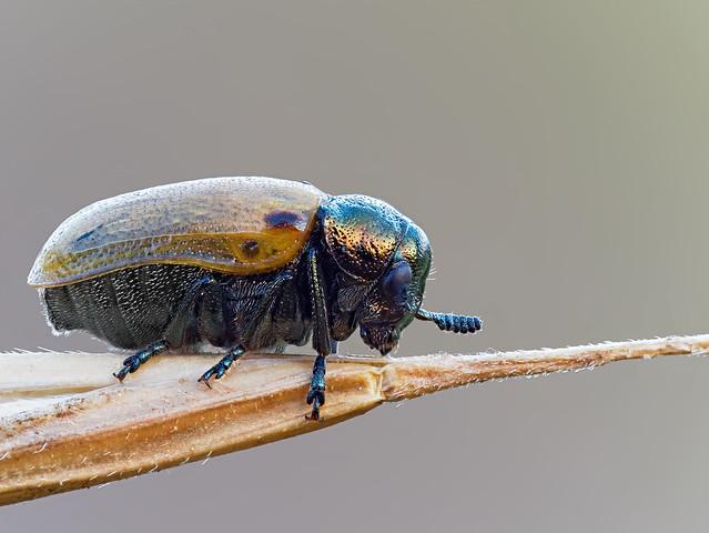 Gemeiner Langbeinkäfer - Labidostomis longimana