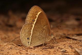 Bushbrown Butterfly (Mycalesis sp., Satyrinae, Nymphalidae)