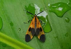 Tiger Moth --- Correbia sp