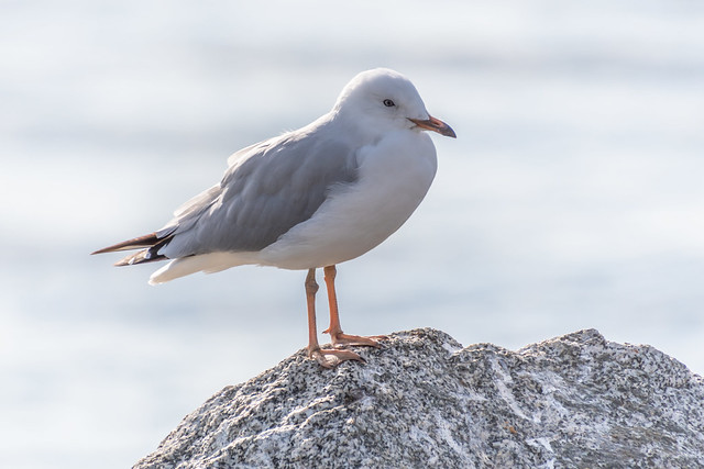 Seagull on a Rock at the Waters Edge