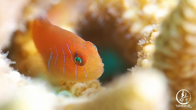 フタイロサンゴハゼ幼魚ちゃん♪