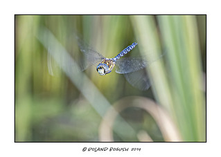 Just look at those wizzy wings! - Migrant Hawker Dragonfly in flight