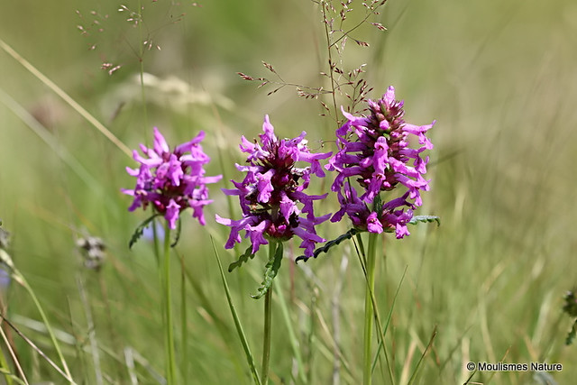 IMG_8779. Betony (Stachys officinalis)