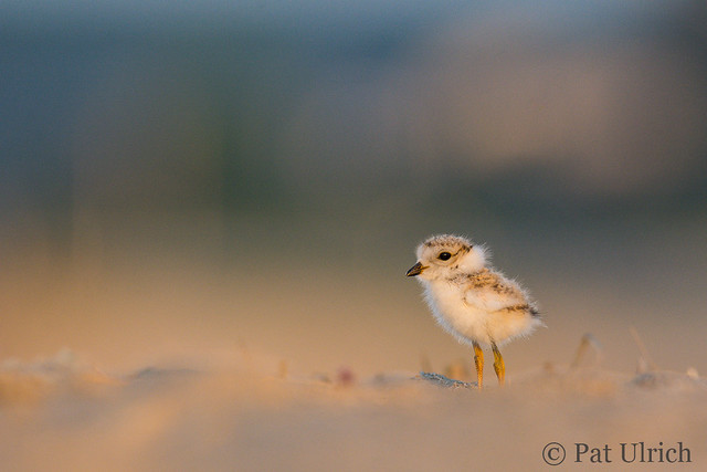 Piping plover in the spotlight