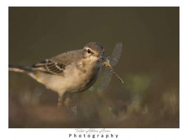 The wagtail  with Dragon fly
