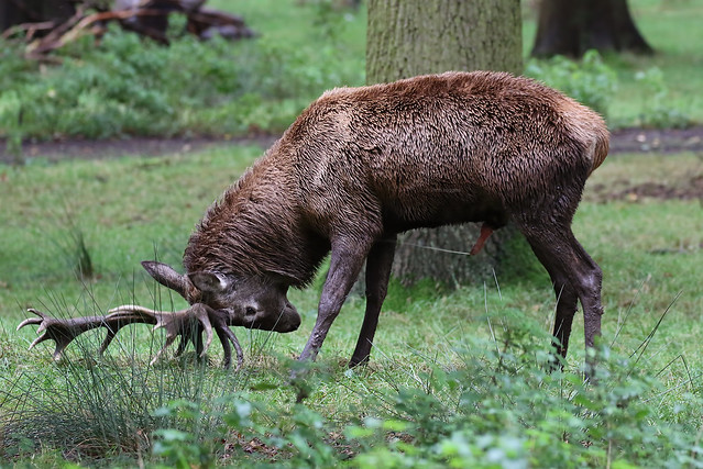 Red Deer Stag Tatton Park 121019b