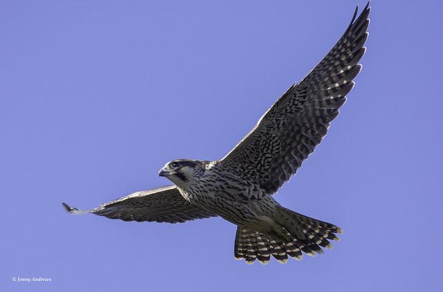 peregrine falcon ( juvenile )