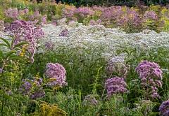 Joe Pye weed, boneset, and goldenrod