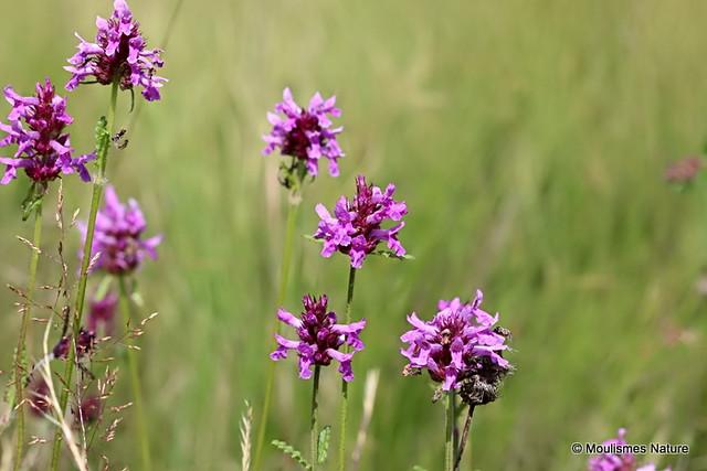 IMG_8780. Betony (Stachys officinalis)