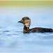 Musk duck Female
