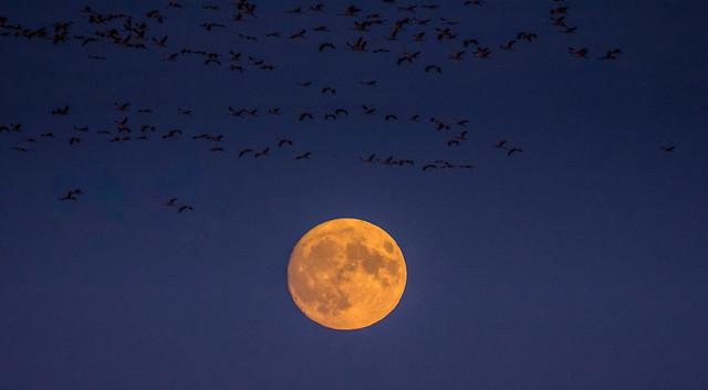Cranes migration / Hortobágy national park