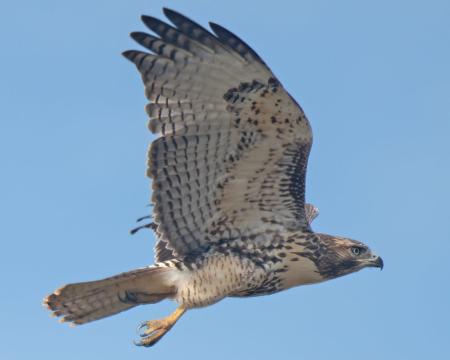 Red Tailed Hawk-96