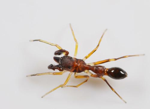 arthropoda spider arachnida salticidae synemosyninae synemosyna synemosynaformica northcarolina piedmont antmimic canonmpe65mmf2815xmacrophoto arachtober inaturalist