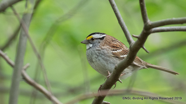 White Throated Sparrow - Central Park May 2019