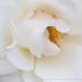 White_Rose_(III),_5.17.19