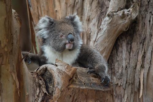 Koala holding court