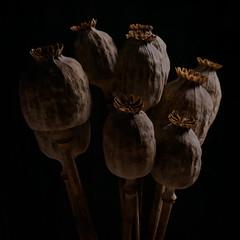 Dried Poppy Heads