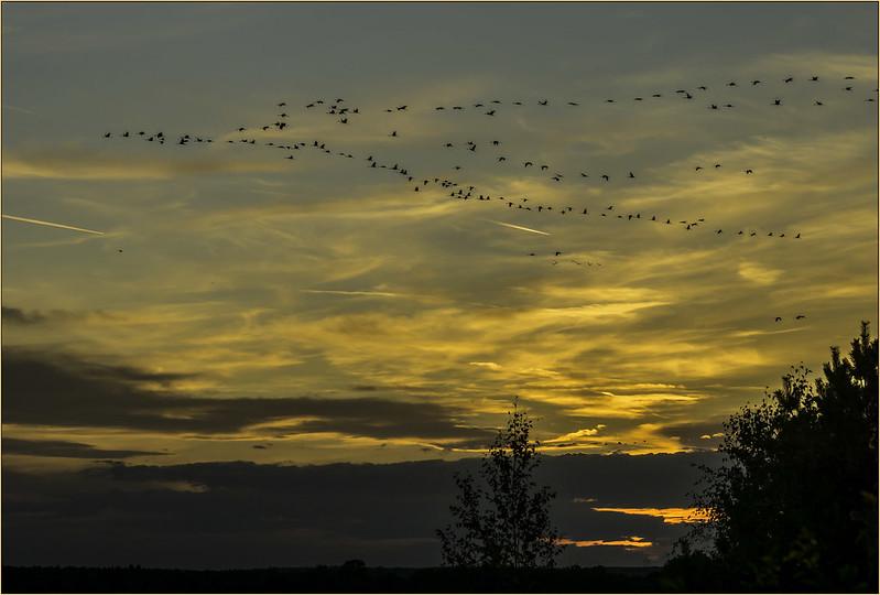 Kranichzug am Abendhimmel ...
