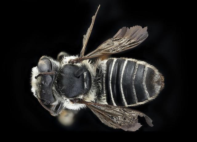 Megachile integra, f, back, Suffolk, VA_2018-06-20-14.01.24 ZS PMax UDR