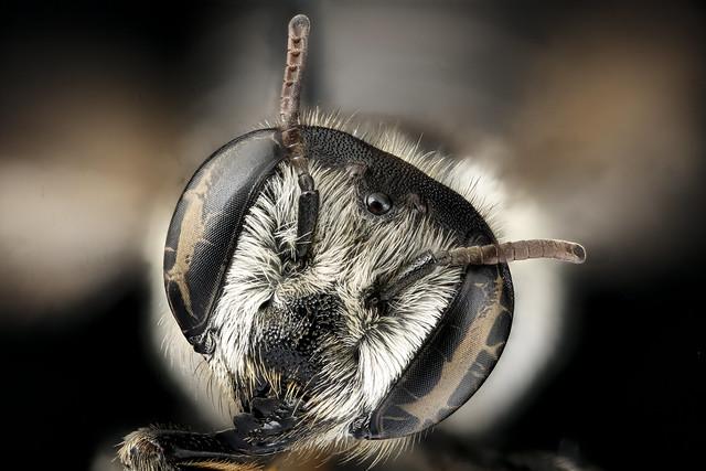Megachile integra, f, face, Suffolk, VA_2018-06-20-14.08.37 ZS PMax UDR