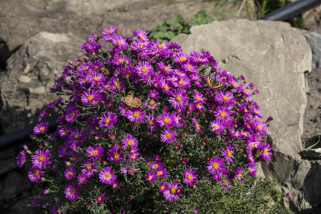 Октябрь, Сибирь, цветение, бабочки.