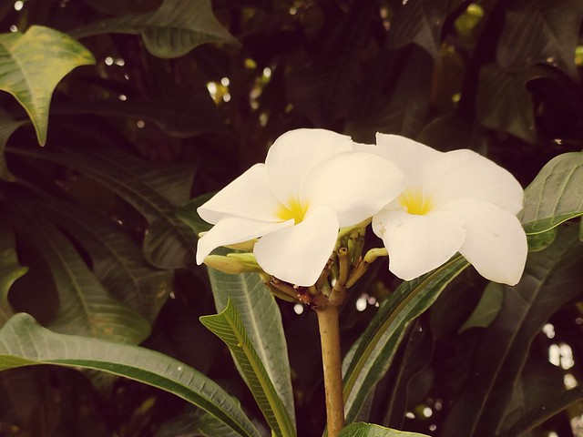 A white flower grows in the quietness. Let your tongue become that flower. ~Rumi